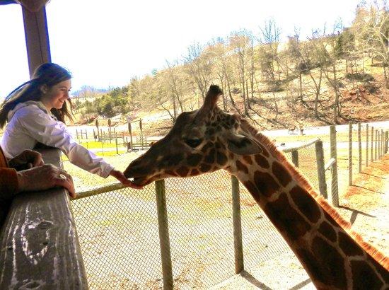 Virginia Safari Park Feeding The Giraffes