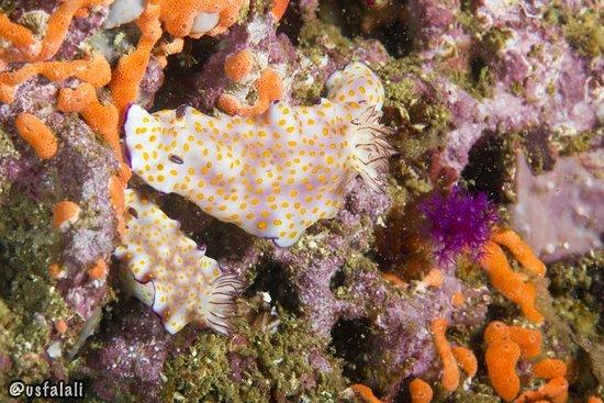 Nomad Ocean Adventures: Hypselodoris pulchella at Lima Rock