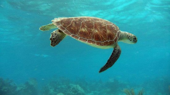 Hamanasi Adventure and Dive Resort: Turtle while snorkeling