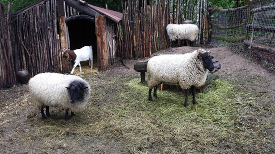 Castello di Amorosa: The flock of sheep