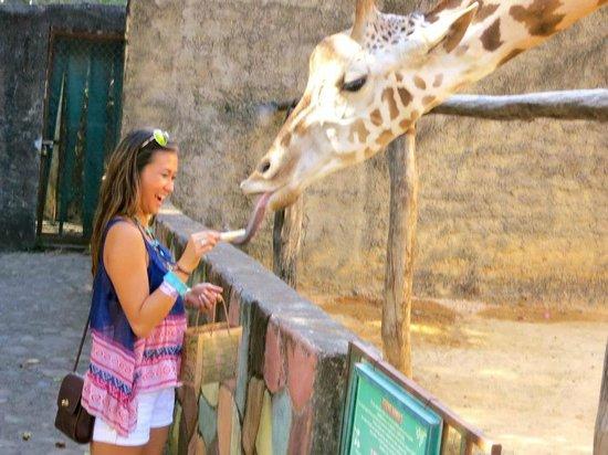 Zoologico de Vallarta: Feeding the giraffes!