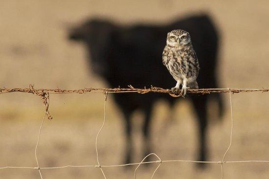 Tarifa Birding Tours: Little Owl and Bull in the Strait of Gibraltar