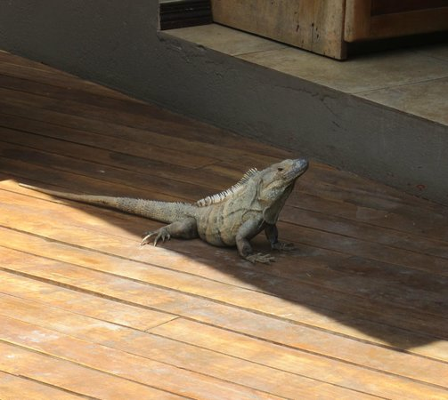Hotel Arco Iris: Iguanas sunnin on the deck