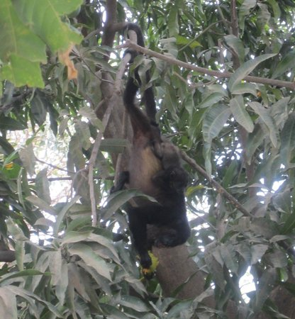 Hotel Arco Iris : Monkeys and their little babies