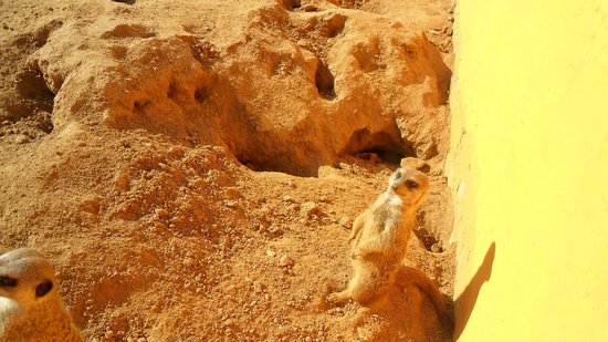 Friguia Park: Meerkat