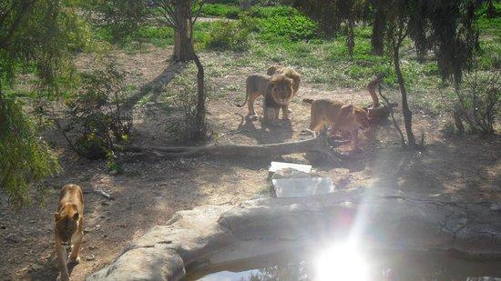 Friguia Park: Lion