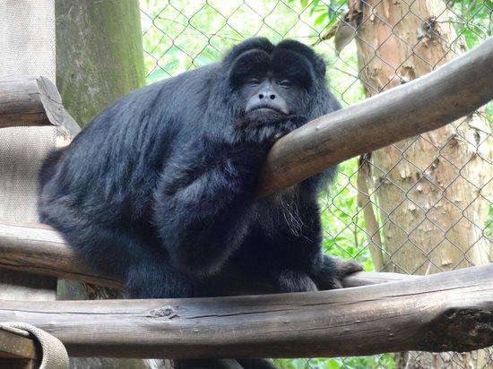 GramadoZoo : macaco prego