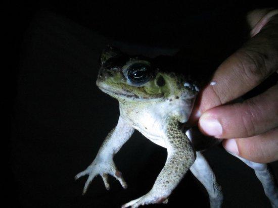 Greentique Costa Rica Tours: Night tour (a bullfrog perhaps?)