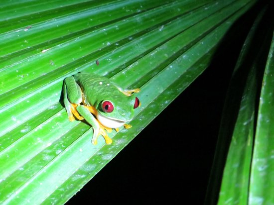 Greentique Costa Rica Tours: Night tour (red-eyed frog!!)
