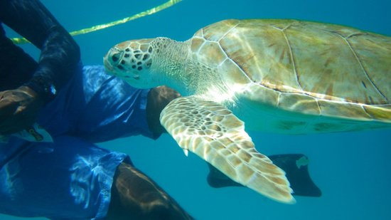 Shasa Catamaran Cruises: Beautiful turtles