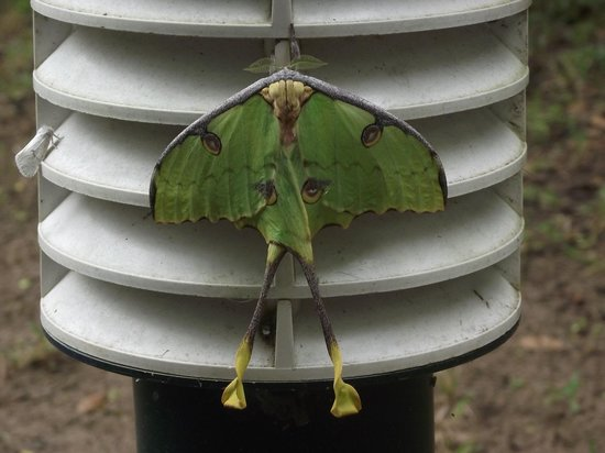 Makhasa Game Reserve and Lodge: Lunar moth spotted one evening near room