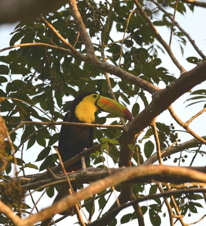 The Lodge at Chaa Creek: Toucan above our Lodge