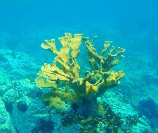 Patouche Charters: Beautiful Staghorn Coral @ Norman Island