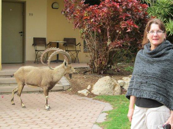 Kibbutz Ein Gedi : Ibex outside our room