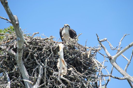 Capt Mitch's - Everglades Private Airboat Tours: Nesting