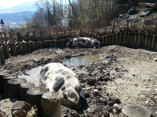 Alpenzoo: Единственное крупное животное - кабан