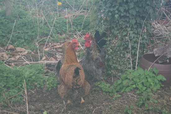Harston, UK: Hi Chicks!
