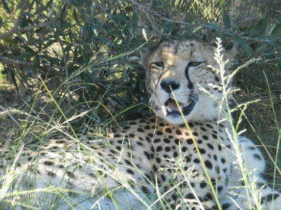 Plettenberg Bay Game Reserve: A Lazy cheetah.