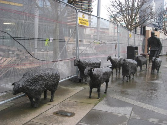 Sheep on the Road, outside Waterfront Hall.