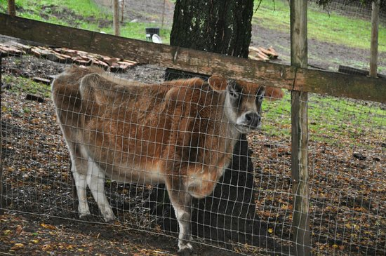 Mountain Home Ranch: Tiny the cow