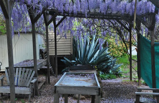 Mountain Home Ranch: Wisteria was in bloom!
