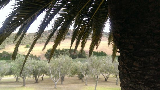 Waiheke Adası, Yeni Zelanda: Stonyridge view of palm, olive tree and vines in one