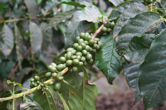 Tloma Mountain Lodge, Tanganyika Wilderness Camps: Coffee Plant
