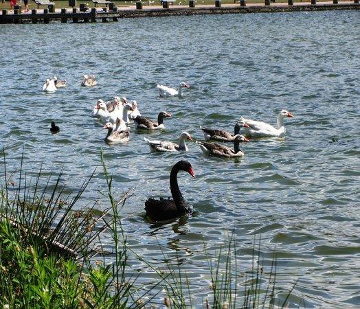 Lake Rotorua : Black swan & other birds on lake