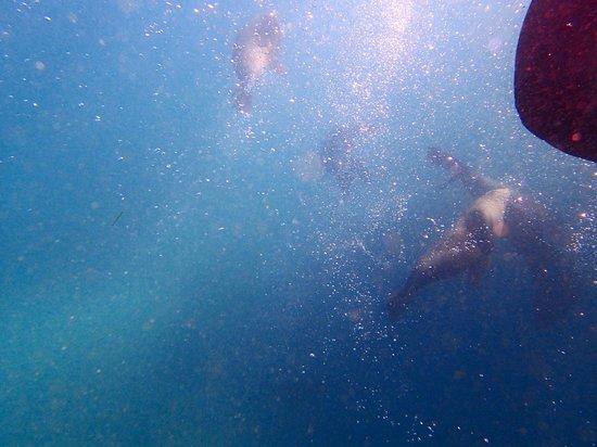 Sea All Dolphin Swims: Australian fur seals