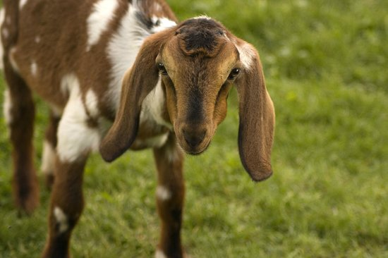 Harvest Grill & Greens at James Ranch: Before or after you eat, go on a self-guided tour and meet the kid goats