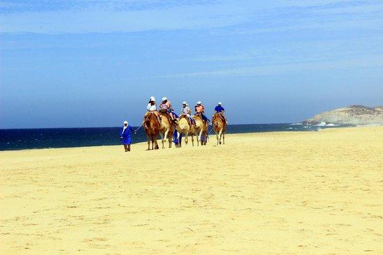 Cabo Adventures: Outback - Camel Adventure Cabo San Lucas