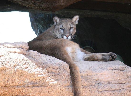 Arizona-Sonora Desert Museum: Mountain lion