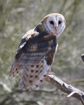 Arizona-Sonora Desert Museum: Owl from the birds of prey show