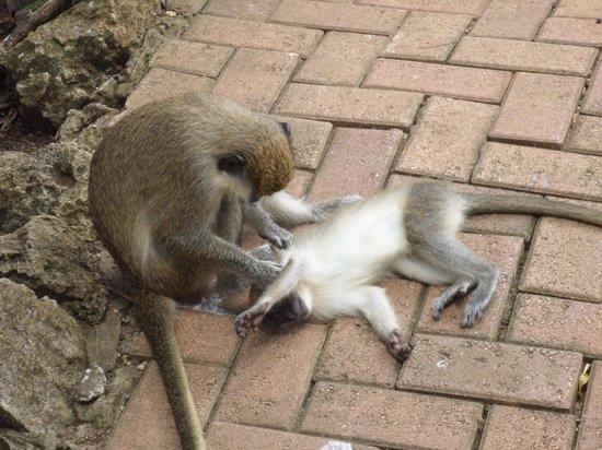 Glory Tours : Monkeys