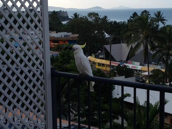 Whitsunday Terraces Resort : Friendly cockies, just don't put your fingers near their beaks