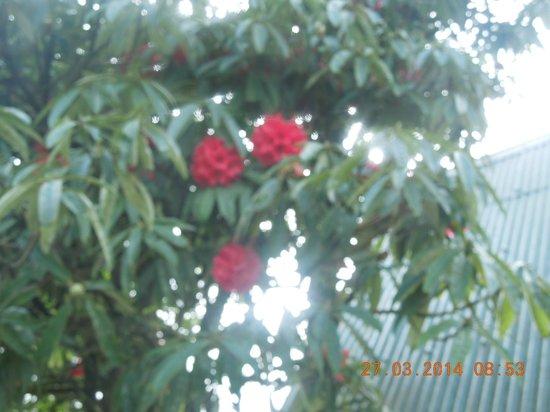 Darjeeling - Khush Alaya, A Sterling Holidays Resort: Rhododendron Flower at The Sterling resort