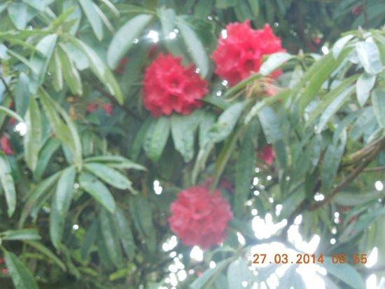 Darjeeling - Khush Alaya, A Sterling Holidays Resort: Rhododendron