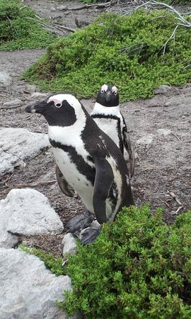 Stony Point Penguin Colony: African penguins
