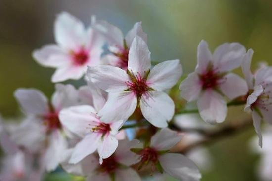 Japanischer Garten (Japanese Garden) : Blossoms
