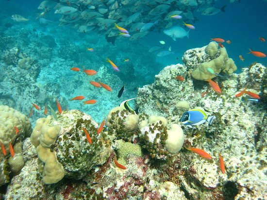 Kuredu Island Resort & Spa: So many beautiful fishes out there