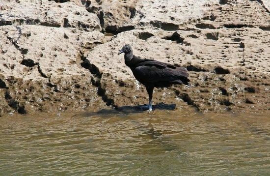 Cañón del Sumidero: Condor