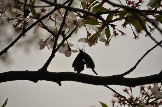 Luojia Mountain: Enjoy Chinese Cherries blossoms at WHU in spring time , 3rd week of Mar - 1st week of Apr is goo