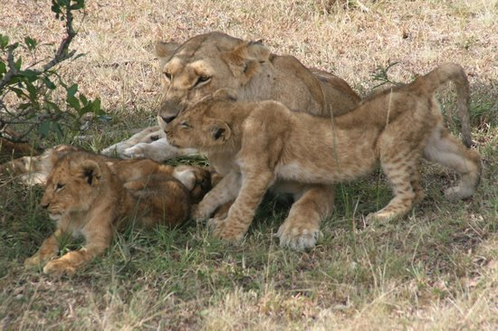 Oloi Karere Mara Camp: Gattini