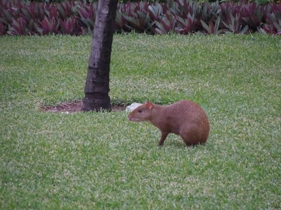 one of many animals you will see - Picture of Luxury Bahia ... |Grand Bahia Principe Tulum Animals