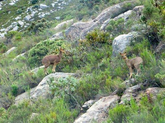 Swartberg Pass: A Klipspringer pair