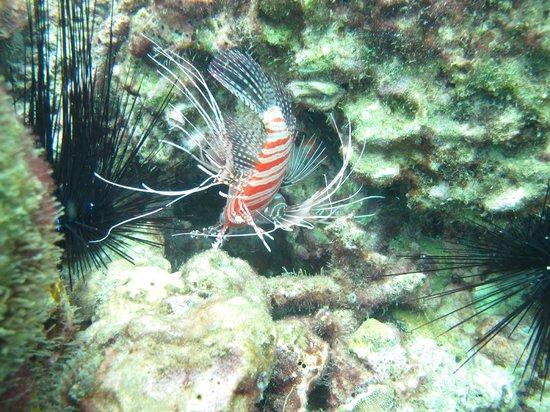 Kon-Tiki Krabi Diving & Snorkeling Center - Krabi: White Lined Lionfish