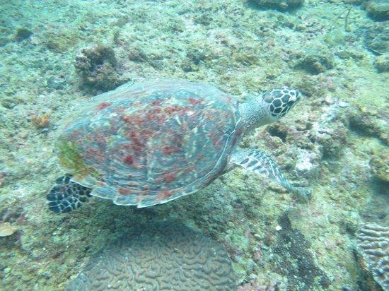 Kon-Tiki Krabi Diving & Snorkeling Center - Krabi: Hawksbill turtle