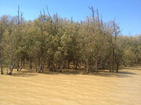 Shoreline Hippo and Croc Cruises: Мангровые деревья