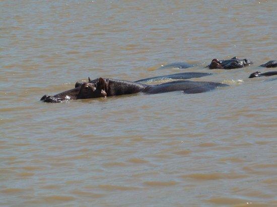 Shoreline Hippo and Croc Cruises: Гиппо (они лежат на животе в озере, глубина в озере всего 1,5 метра)