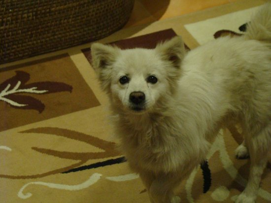 The Pear Tree: Lee, the adorable spitz that inhabits the premises